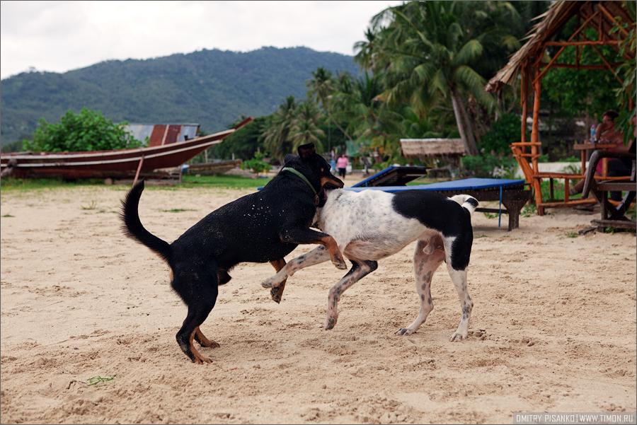 Окрестности отеля и водопады, часть третья - Остров Самуи, Тайланд (2010) - Бой собак